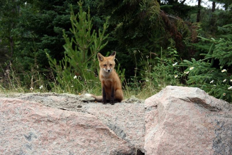Ontario Fox
